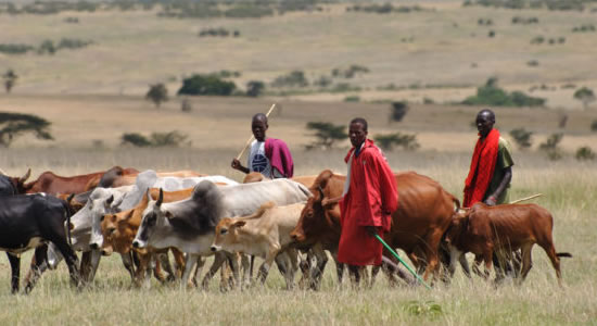 Miyetti Allah Bans Fulani Herdsmen From Grazing In South-East